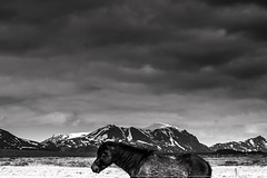 Icelandic Horse (Gremy-Photographie) Tags: voyage trip travel wild horses bw horse white mountain snow black cold geometric nature beautiful beauty animal night 35mm canon cheval grey blackwhite iceland amazing hiking wildlife country north lifestyle roadtrip shades traveller freeze 16mm backpacker orage islande chevaux icelandic longday naturelovers tourdumonde equestre eos100d