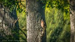 Collared Sparrowhawk - Accipiter cirrocephalus (Beckett_1066) Tags: birds