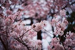 cherry blossom (Shoji Kawabata. a.k.a. strange_ojisan) Tags: new flower film japan analog cn 35mm lens cherry japanese tokyo spring lomo lomography blossom bokeh  cherryblossom 100 zenit analogphotography treet nakameguro analogphoto filmphotography kenko filmphoto  pnats petzval  kf1n
