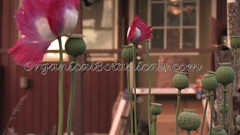 Danish Flag Papaver Somniferum Opium POPPY Pods n Flowers by- OrganicalBotanicals_Com 24 (gjaypub) Tags: flowers plants nature silhouette photography pod photos gardening bees seed seeds poppy poppies growing opium pods cultivation papaver somniferum morphine cultivating papaversomniferum 2016 potency poppyhead alkaloids organicalbotanicals
