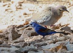 7b-bluegrosbeak-6606 (h.redpoll) Tags: bigbendtrip bluegrosbeak davismountainsstatepark feeders texas westtexas