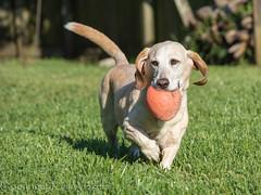 Fetch! (kaw209) Tags: dog sc charleston daisy etsy bassador cnpa bassetlabmix kwinkelerphotos nikond7200