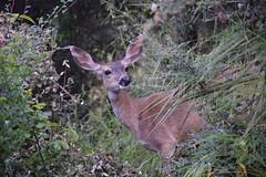 Oh deer! (Leticia Roncero) Tags: nature animals deer mount tamalpais ciervo