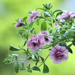 Double Calibrachoa Pink Vain (Alona Azaria) Tags: flowers flores fleur fleurs pastel fiori fiore doublecalibrachoa pinkvain