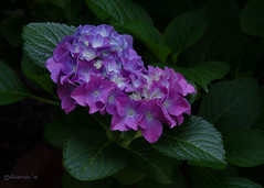 Morning Hydrangea (David Warlick) Tags: flowers flower nature hydrangea nopostproduction nohdr naturenc