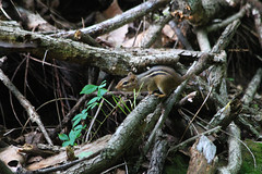 There's Chip... (tripod_treker) Tags: usa leaves animals virginia branches chip chipmunks ef70300mmf456isusm canon7d