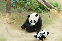 10-month-old (almost) Nuan Nuan () 2016-06-16 (kuromimi64) Tags: bear zoo panda malaysia nationalzoo kualalumpur giantpanda   zoonegara       nuannuan selangordarulehsan  zoonegaramalaysia