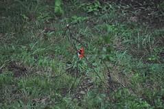 DSC_0020 (Gary Storts) Tags: cardinal gynandromorph gynadromorph orninthology birdwatching birds cardinalis northerncardinal cardinaliscardinalis