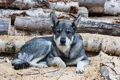 Sally (totheforest) Tags: summer dog sweden hund sverige sommar skellefte huntingdog vsterbotten burtrsk jakthund sen afmicronikkor105mm128 lghund grhundjmthund norwegianelkhoundswedishelkhound nikond7200 strsk