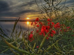 Poppy-sunset (Jaco Verheul) Tags: sunset flower water clouds poppy poppies hdr suun