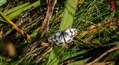 01839 (Tres-R) Tags: espaa animals butterfly spain galicia animales mariposa pontevedra riasbaixas airelibre morrazo tresr rodolforamallo