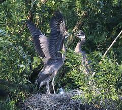 Great Blue Heron Nest (Redtail10025) Tags: great blue heron nest juvenile baby greatblueheron nature statenisland wildlife shore birds shorebirds