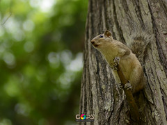 """OUR FUTURE LOOKS BLEAK. PLEASE THINK OF US ON THIS WORLD ENVIRONMENT DAY, 2016 !"" (GOPAN G. NAIR [ GOPS Photography ]) Tags: gopsorg gops gopsphotography gopangnair gopan photography environment day world squirrel lonely future bleak"