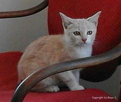 """Katzen * Cats * Gatos * """"Walulli""""   .  IMG-20160618-WA0005 (maya.walti HK) Tags: cats animals tiere flickr gatos animales katzen 2016 ausgesetzt gerettet copyrightbymayawaltihk 290616 samsungsmj100h walulli walulligeb29032016"""