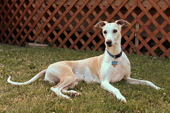 Spanky in the Grass (DiamondBonz) Tags: dog pet hound handsome whippet spanky