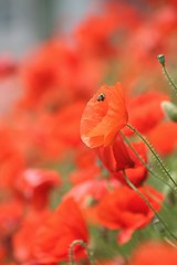 Blurry Bee (haberlea) Tags: flowers red green nature garden vibrant poppies