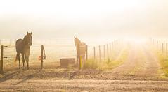 Golden morning (ingelaclaesson) Tags: morning horse animal sunrise golden stall pasture stable plats timbaro thorsgrden