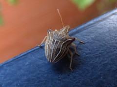Ancyrosoma leucogrammes (bego vega) Tags: madrid macro animal bug insect vega vf bv bego insecto chinche hemiptera ancyrosoma leucogrammes