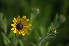And now it's summer (KsCattails) Tags: summer flower green yellow nikon blossom native meadow depthoffield daisy sunlit rudbeckia wildflower blackeyedsusan jccc d7000 kscattails
