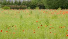 03062016-_DSC0030 (vidjanma) Tags: fleurs champ coquelicots