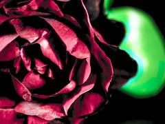 Rosa (DrunkyMonKey) Tags: macro rosa natura fiore petali