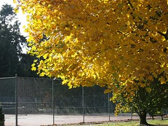 Parksville Tennis Court (Parksville Qualicum Beach) Tags: autumn canada tree fall leaves yellow bc vancouverisland tennis parksville tenniscourt