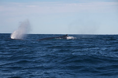 Humpback whale blowing hard (IAGD+P) Tags: manly sydney blowing whales humpbackwhales northernbeaches whaleseason