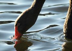 Black Swan on Rideau River (Dan The Hutt) Tags: swan blackswan olympuse510 olympuszuiko70300mmf4056ed
