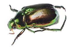 koganemushi16614_fs1812a (takao-bw) Tags: japan insect beetle coleoptera scarabbeetle   goldbug