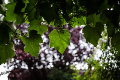 Heard it through the grape vine (MSC_Photography) Tags: green leaves rain 35mm garden droplets leaf drops nikon bokeh vine nikkor blatt bltter garten grape regen afs wein tropfen vitis weinrebe weintraube vinifera d5100 118g