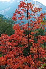 Sumac en automne (kevrinus) Tags: autumn red tree leaves automne landscape rouge sumac paysage arbre feuilles esteron feuillage