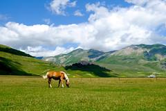 Cavallo Castelluccio (Domenico Laviano) Tags: castelluccio norcia cavallo umbria italia