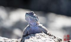 Agama Agama (DragonSpeed) Tags: africa tanzania reptile safari agama agamalizard serengetinationalpark shinyanga seroneraregion tzday02 africanwildcatsexpeditions
