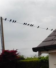 20160614_184156 (EadaoinFlynn) Tags: ireland bird wire gathering murder crow wexford corvid