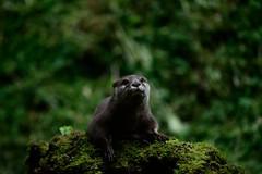 Otter-20160623-23s (Fatcat Al) Tags: en alan district derbyshire centre peak chapel le short frith otter chestnut castleton clawed minnis