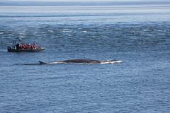 Whale (17 von 19) (karstenniehues) Tags: sea canada st whale lorenz wal whalewatching tadoussac kanada sugetier blauwal finnwal minkwal