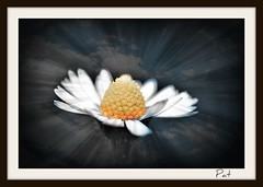 Daisy (patrick.verstappen) Tags: texture textured flower flickr facebook daisy summer gingelom google garden nikon d7100 belgium sigma photo picassa pinterest yahoo may sky ipernity ipiccy image inspiration