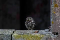 Little owl (ToriAndrewsPhotography) Tags: little owl barn photography andrews tori
