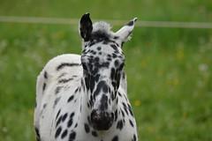 DSC_4632 (d90-fan) Tags: animals outdoors austria tiere sterreich natur pferde schnecke rauris fohlen hohetauern tauern krumltal murmeltiere raurisertal