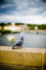 Colorful pigeon (yAvuz.kaya) Tags: leica 50mm colorful prague pigeon prag rangefinder noctilux charlesbridge lightroom f095 m240 leicamp noctiluxm leicam noctilux095 typ240
