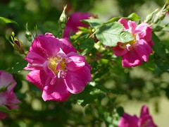 Rugosa roses in my garden (lovesdahlias 1) Tags: roses flowers blossoms gardens nature summer newengland