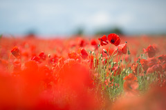 Poppy Field (jimoftheday) Tags: england field village unitedkingdom poppy gb canonef135mmf2lusm netherpoppleton