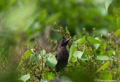 Quiscale bronz bb! (pascaleforest) Tags: baby bird nikon commongrackle oiseau bb naturepassion quiscalebeonz