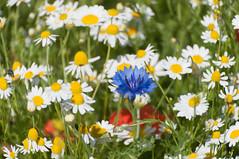 Floral city (Tony Shertila) Tags: blue red england flower liverpool geotagged europe unitedkingdom britain outdoor petal stamen poppy wildflowers cornflower merseyside everton gbr evertonward 20160623103134 geo:lat=5342001896 geo:lon=296997786