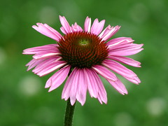 Purple Coneflower (AmyWoodward) Tags: echinacea purpleconeflower fantasticflower