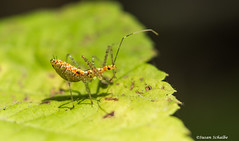 A deadly nymph (Photosuze) Tags: bugs insects nymphs assassinbugs nature wildlife leaf animals