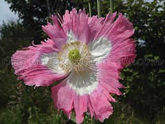 IZMIR AFGHAN GMO SOMNIFERUM POPPY *SPECIAL* SEEDS  ALBUM GALANIA 2016 (Unusual Botanicals) Tags: fish macro eye art lens photography high grow fisheye attachment afghan poppy poppies resolution farms hd how growing hq poppyseed izmir lenses botanicals iphone highres papaversomniferum opiumpoppy poppypods organical opiumpoppies turkishimports iphoneography poppycultivation organicalbotanicals opiumpoppycultivation opiumpoppiesseed izmiroilampspicecompany izmirpoppy