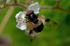 Volucella pellucens - the Pellucid Hoverfly (BugsAlive) Tags: uk macro nature animal insect fly outdoor wildlife insects flies wiltshire hoverfly syrphidae diptera volucellapellucens eristalinae pellucidhoverfly liveinsects lowermoorfarmnr