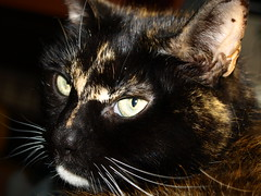 Picture of a cat - 2 (Tony Worrall Foto) Tags: pet brown cute nature smile face animal cat fur fun nice eyes furry kiss chat little head pat pussy whiskers beast katze sunlit puss gatto playful catz nicecat catseyes moggy catty catpicture lovelypussy 2013tonyworrall