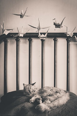 Sleeping Puddy, Paper Cranes (Kilkennycat) Tags: sleeping blackandwhite cat canon bed kitty 50mm14 dreaming meow papercranes puddy 500d kilkennycat t1i ryanconners